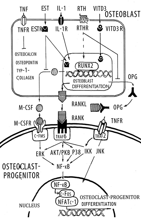 Osteoporosis and role rankl rank opg system and notch signaling pathway in bone development and remodeling