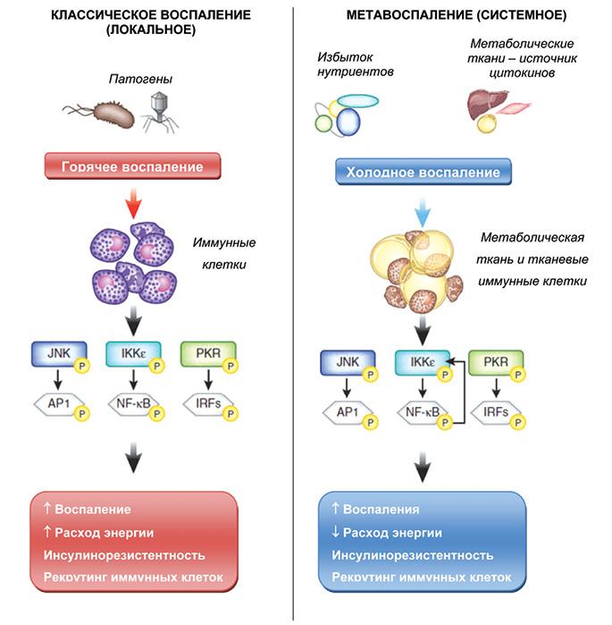 Метаболический фенотип остеоартрита. Современные взгляды напатогенез, механизмы прогрессирования иподходы клечению